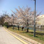 桜が満開です!!