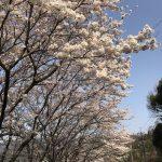桜が満開のもと、お客様のところにお伺いしました